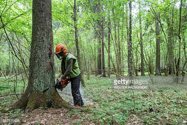 A forest workers cuts down a spruce attacked by woodworm in Bialowieza Forest on May 31 2016 near Bialowieza Today this peaceful haven is the scene...