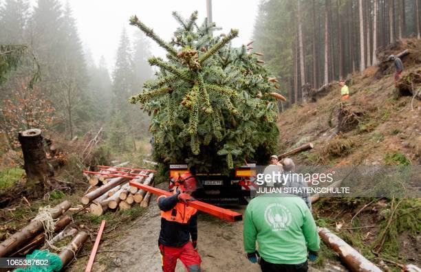 Forest workers make a coniferous tree ready for transport in Altenau in the Harz region central Germany on November 26 2018 The 62 years old tree is...