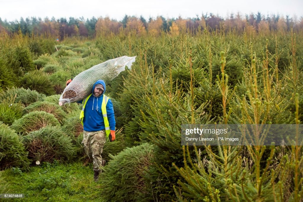 Forestry Commission Christmas trees : News Photo - A Forestry Commission Employee Carries A Sustainably Grown Christmas