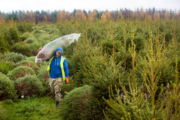 Forestry Commission Christmas trees Pictures | Getty Images