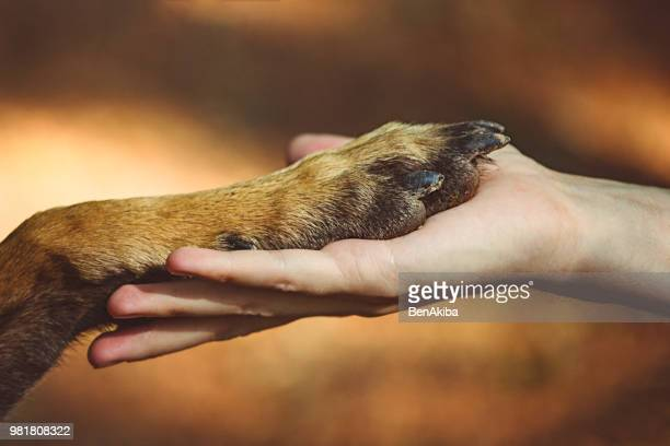 forever friends - belgian malinois stock photos and pictures