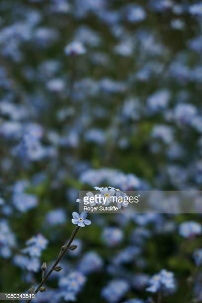 forget me not flowers - fragilidad fotografías e imágenes de stock