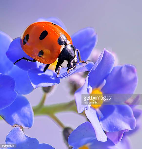 forget me not & ladybird - ladybug stock pictures, royalty-free photos & images