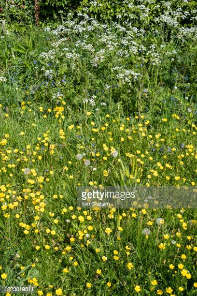 Forget Me Nots Myosotis Cow Parsley Anthriscus sylvestris Buttercups Ranunculus wildflowers blooming and dandelion seed heads in Springtime England