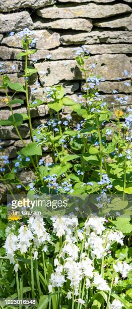 Forget Me Nots Myosotis white Bluebells Hyacinthoides and Dandelions Taraxacum wildflowers by Cotswold dry stone wall in Springtime in The Cotswolds...