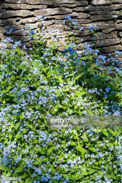 Forget Me Nots Myosotis wildflowers by Cotswold dry stone wall iSpringtime in The Cotswolds Oxfordshire England