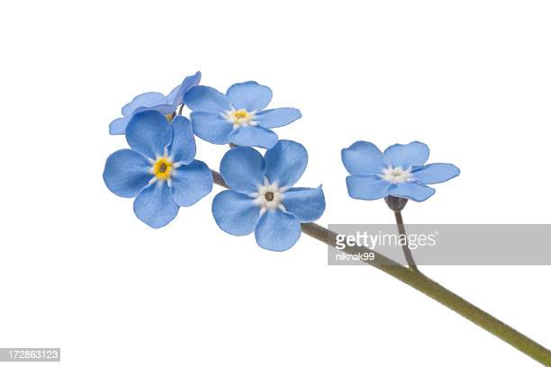forget me nots on white
