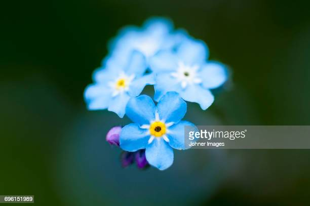 Forget-me-not, close-up