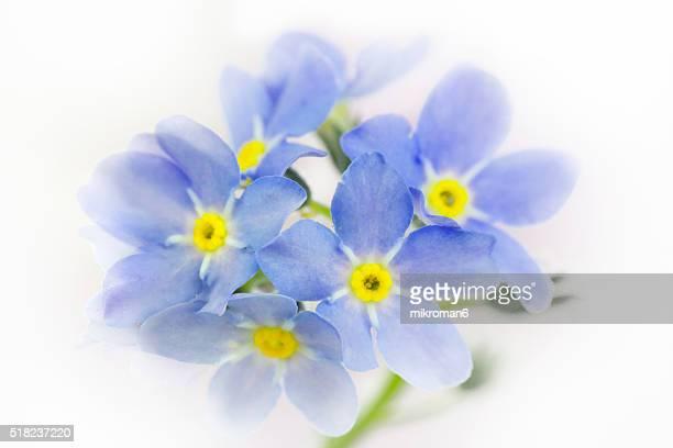 Forget-me-not flower (Myosotis)