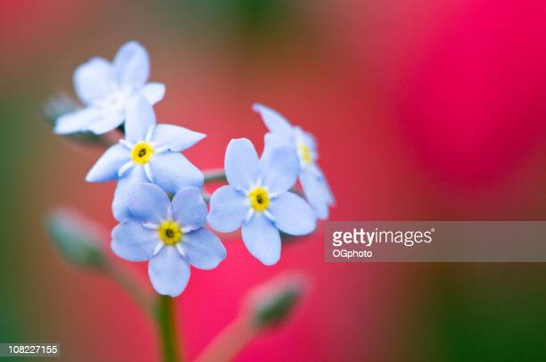 forget-me-not flowers - ogphoto stock photos and pictures