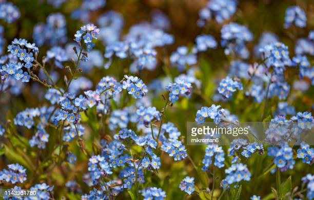 forget-me-not flowers - forget me not stock pictures, royalty-free photos & images
