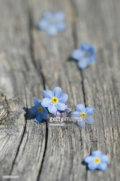 Forget-me-not, Myotis on wood