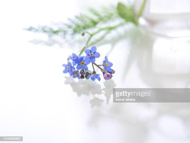 forget-me-not - forget me not stock pictures, royalty-free photos & images