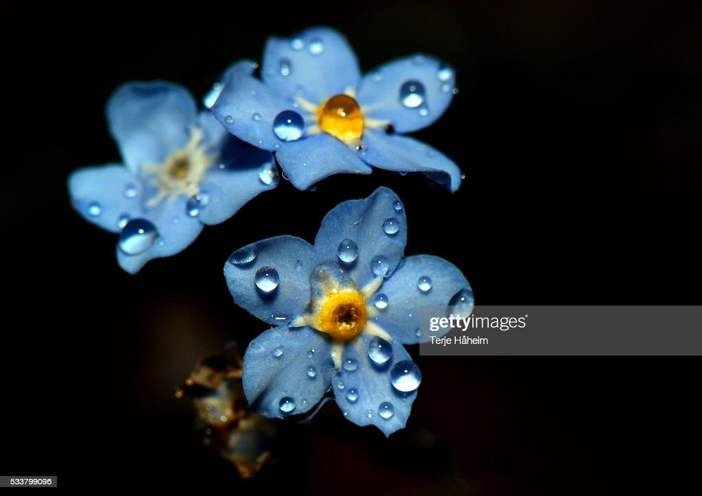 Forget-Me-Not : Foto stock
