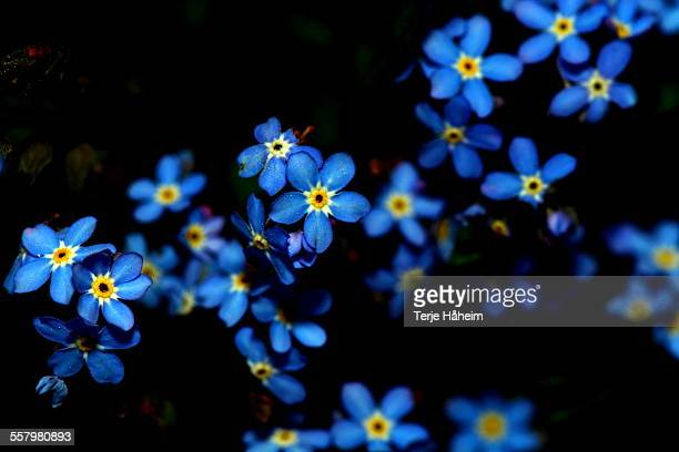 Forget-me.not