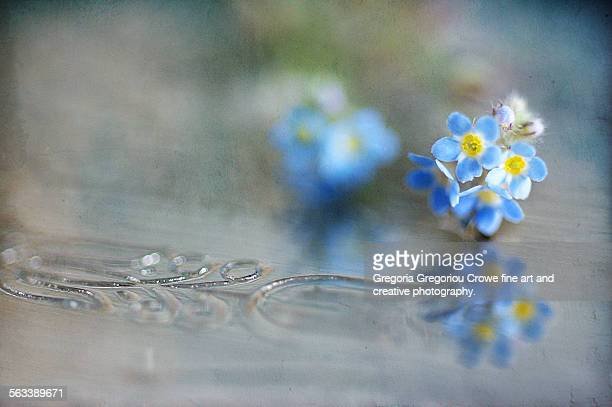 forget-me-not - gregoria gregoriou crowe fine art and creative photography. stockfoto's en -beelden