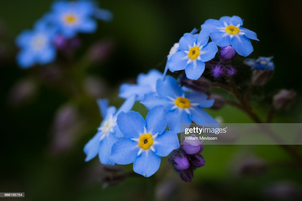 Forget-me-not : Stockfoto