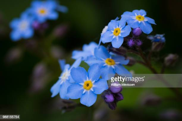 forget-me-not - william mevissen stockfoto's en -beelden