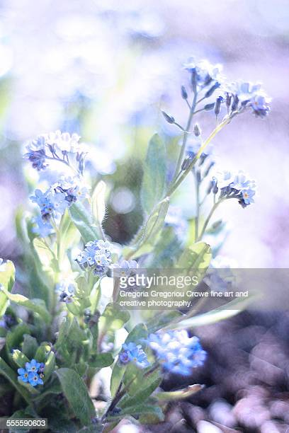 forget-me-nots flowers - gregoria gregoriou crowe fine art and creative photography. stockfoto's en -beelden