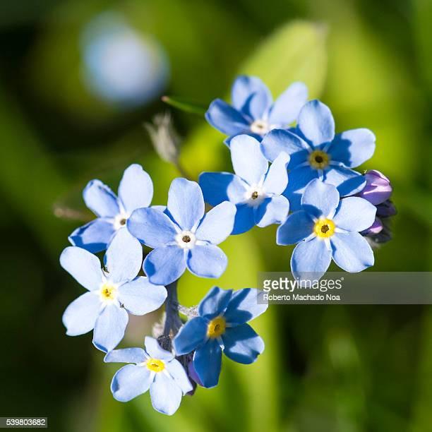 Forgetmenots or scorpion grasses Myosotis is a genus of flowering plants in the family Boraginaceae