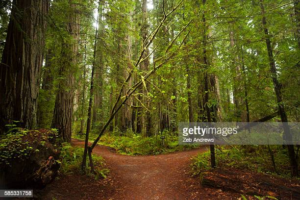 fork in the trail leading through the california redwoods - forked road stock pictures, royalty-free photos & images