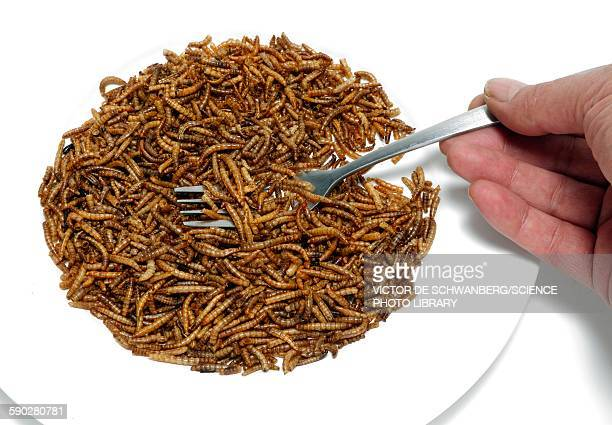 fork with plate of mealworm - mealworm stock photos and pictures