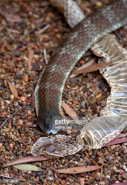 forked tongue of tiger snake with its shed skin - serpente tigre foto e immagini stock
