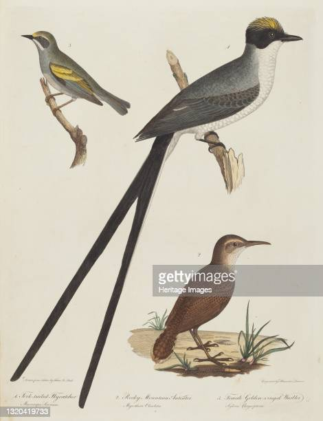 Fork-tailed Flycatcher, Rocky Mountain Anteater, and Female Golden-winged Warbler. Artist Alexander Lawson.