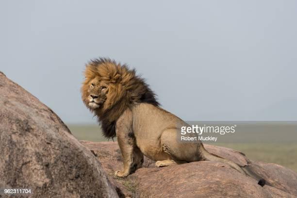 Forlorn Lion