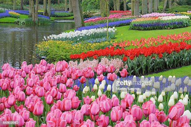 formal garden in spring with tulips. - grape hyacinth stock pictures, royalty-free photos & images