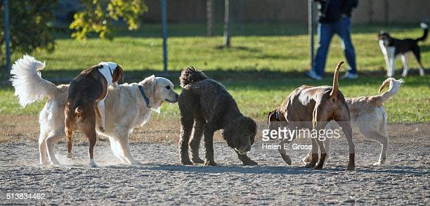 formal introductions - standard poodle stock photos and pictures