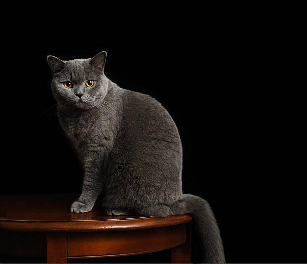 Formal pet portrait british shorthair cat