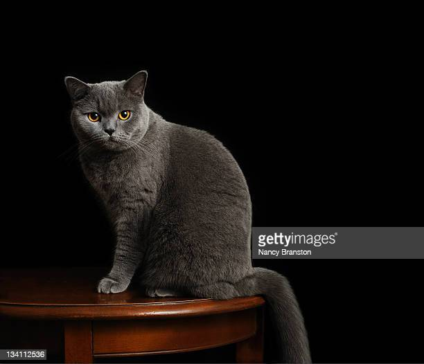 Formal pet portrait british shorthair cat