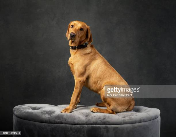formal studio portrait of a red/yellow labrador dog - majestic stock pictures, royalty-free photos & images