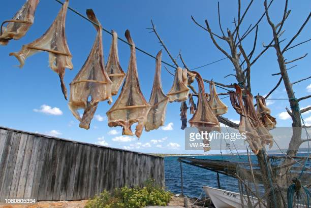 Formentera's dried fish Peix Sec de Formentera in Torrent de S'alga According to the traditional method local fish varieties of skate are dried in...