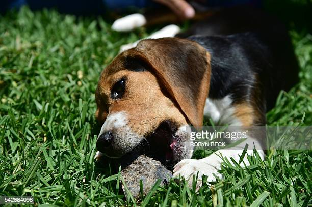 A former laboratory research beagle plays on grass with a chew toy at a residential home in Los Angeles California June 24 2016 shorlty after the...