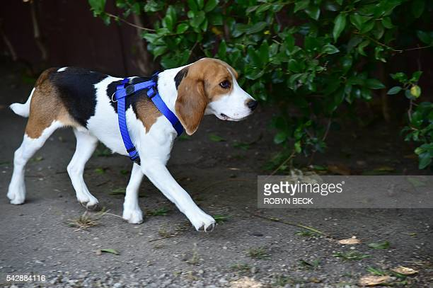A former laboratory research beagle walks on the grass for the first time at a residential home in Los Angeles California June 24 2016 shortly after...