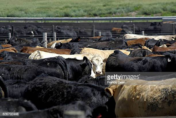 COUNTY /IOWA /USA Former life animals cattles and barns and agriculture and former country life 13 JUNE 2014