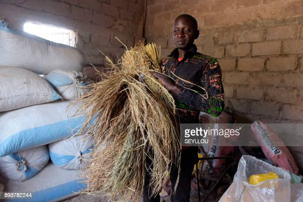Former migrant worker in Italy municipal councilor of Nganda and head of a rice producers' association Pape Samba Diane holds hay in the storage unit...