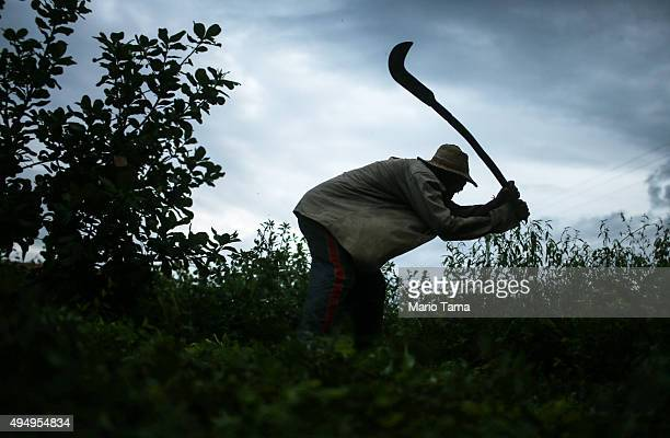 Former slave Francisco Rodrigues dos Santos demonstrates how he clears brush with his sickle on the piece of land which he lives and farms at the...
