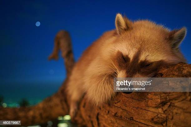 a formosan masked civet,taiwan. - civet cat stock photos and pictures