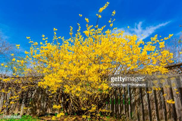 forsythia, a flower of spring - khanh ngo stock pictures, royalty-free photos & images