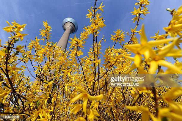Forsythia bloom in front of the TV Tower in the warm sunny weather in the western city of Duesseldorf on March 21 as temperatures grew up to 15...