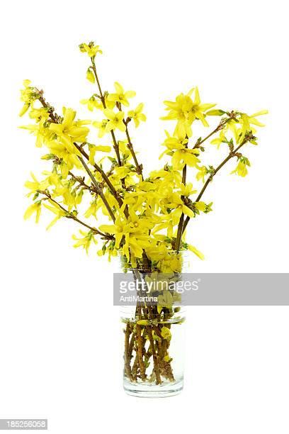 forsythia ブーケの花瓶白で分離