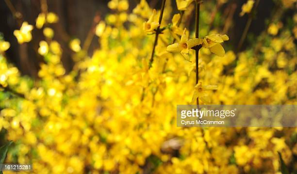 A Forsythia bush in full bloom in Denver on Wednesday April 11 2012 Cyrus McCrimmon The Denver Post