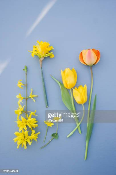 forsythia, daffodil and tulips - tulips and daffodils stock pictures, royalty-free photos & images