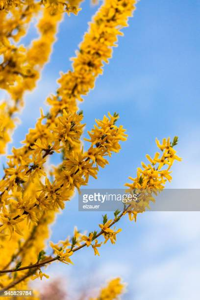 Forsythia flowers against clear blue sky