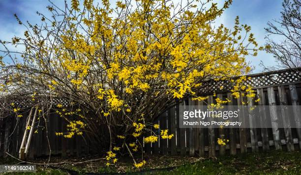 forsythia, golden bell flowers - khanh ngo stock pictures, royalty-free photos & images