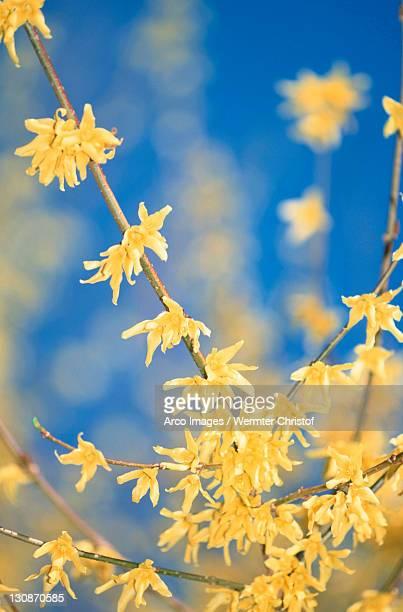 Forsythia in blossom / (Forsythia suspensa)
