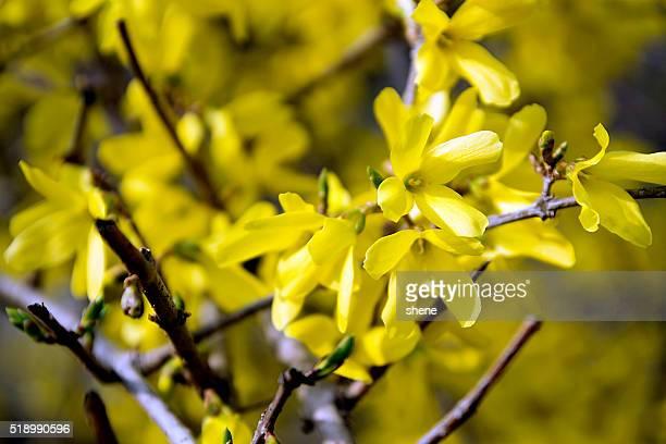 Forsythia in New Spring